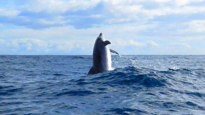 Delfine vor LA PALMA